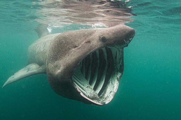 Cá nhám phơi nắng là động vật ăn lọc. Ảnh: Central Maine.