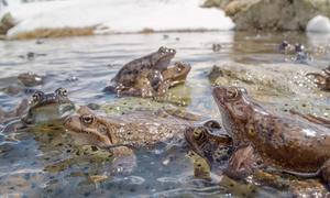 Hàng trăm ếch nâu sinh sản ở độ cao 2.400 m
