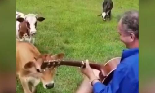 Bác nông dân thổi kèn cho bò thư giãn - 3