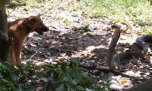 Dỗ dành rắn hổ mang chúa 4 mét xuống đất - 2