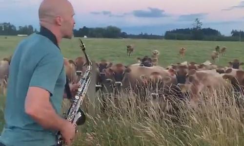Bác nông dân thổi kèn cho bò thư giãn - 2