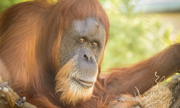 Đười ươi Inji. Ảnh: Vườn thú Oregon.