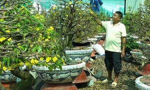 Nhà vườn ở Sài Gòn lo lắng vì mai nở sớm
