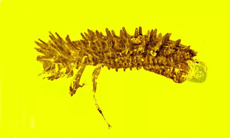 Ảnh chụp ngang cho thấy chân của bọ cánh cứng. Ảnh: George Poinar Jr.