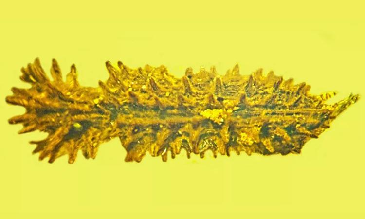 Bọ cánh cứng Stegastochlidus saraemcheana nhìn từ phía trên. Ảnh: George Poinar Jr.