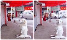 Chó cưng ngồi trước cửa hàng xin ăn