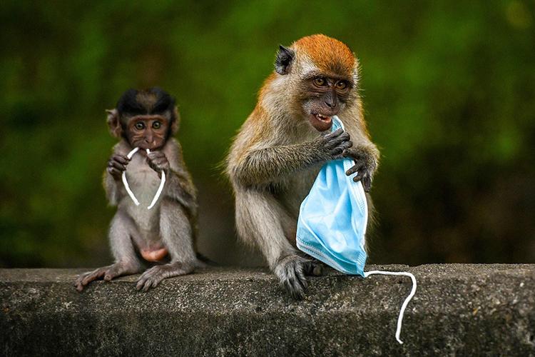 Khỉ Macaque nhầm khẩu trang bỏ đi là thức ăn. Ảnh: CFP.