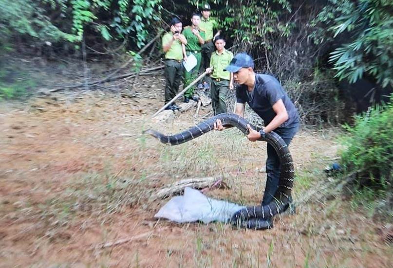 Con rắn được thả vào rừng tự nhiên. Ảnh: Lực lượng kiểm lâm cung cấp