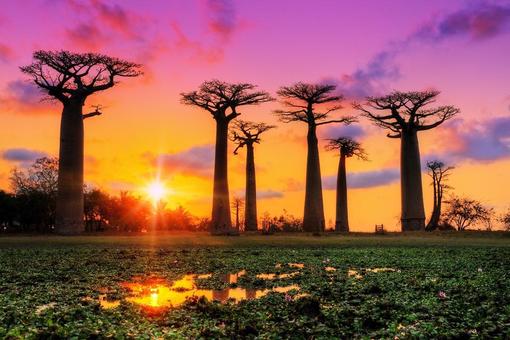 Những cây bao báp đặc trưng ở đất nước được mệnh danh là lục địa thứ 8. Ảnh: Shutterstock.