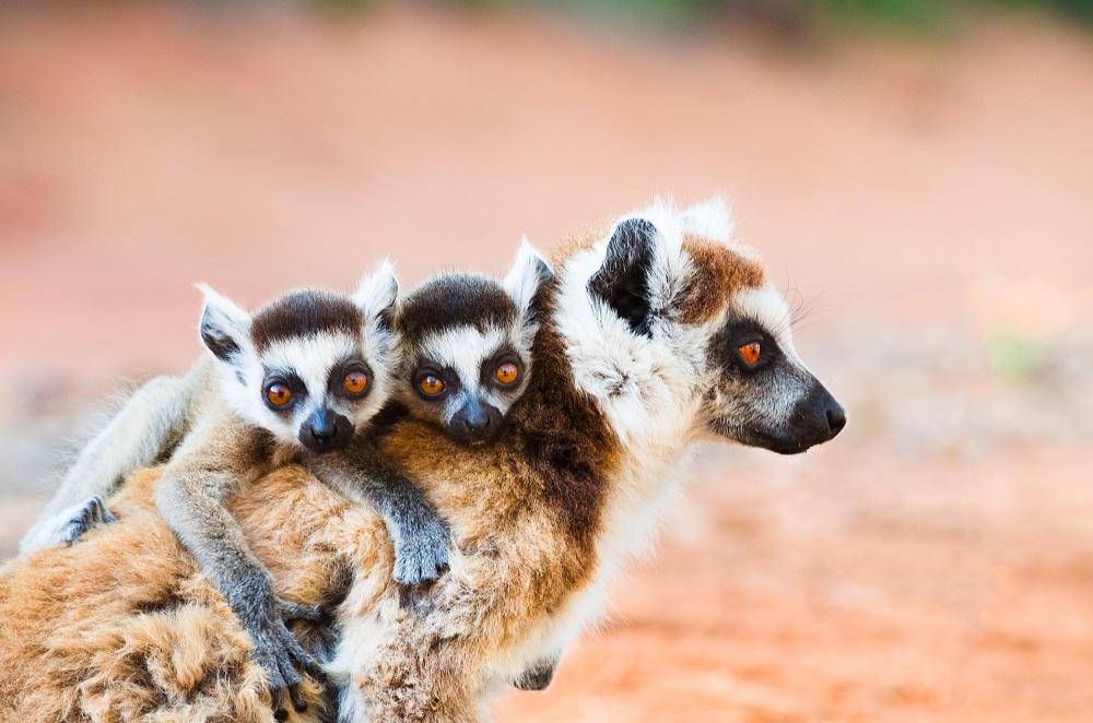 Loài vượn cáo đặc hữu trong khu bảo tồn Berenty ở Madagascar. Ảnh: Shutterstock.