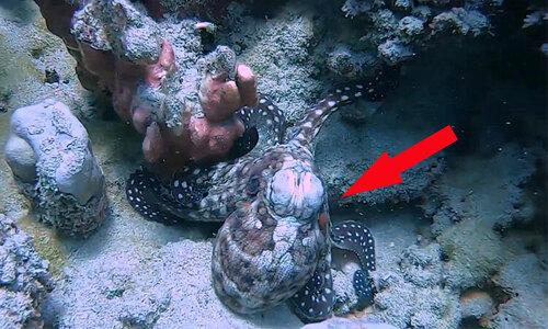 Bạch tuộc ba chân bốn cẳng chạy dưới đáy biển  - 2