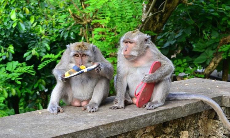 Khỉ đuôi dài đang ôm dép lấy từ du khách. Ảnh: Travel Blog.