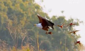 Đại bàng vung chân tóm gọn chim trảu trên không
