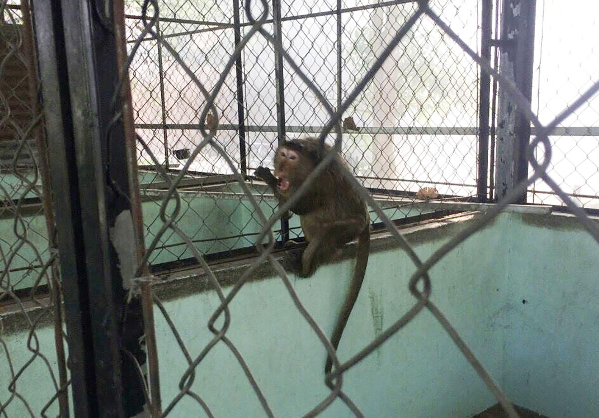 Khỉ được đưa về chăm sóc ở Trạm cứu hộ động vật Củ Chi. Ảnh: Chi cục Kiểm lâm TPHCM cung cấp.