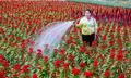 Nghề trồng hoa Tết bèo bọt vì tư duy làm ăn thô
