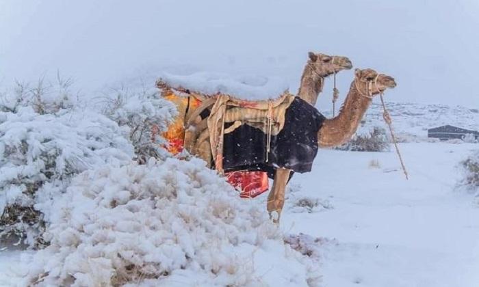 Lạc đà đứng giữa tuyết trắng ở Tabuk. Ảnh: Abu Nayef Fawaz Al-Harbi/ Magnus News.