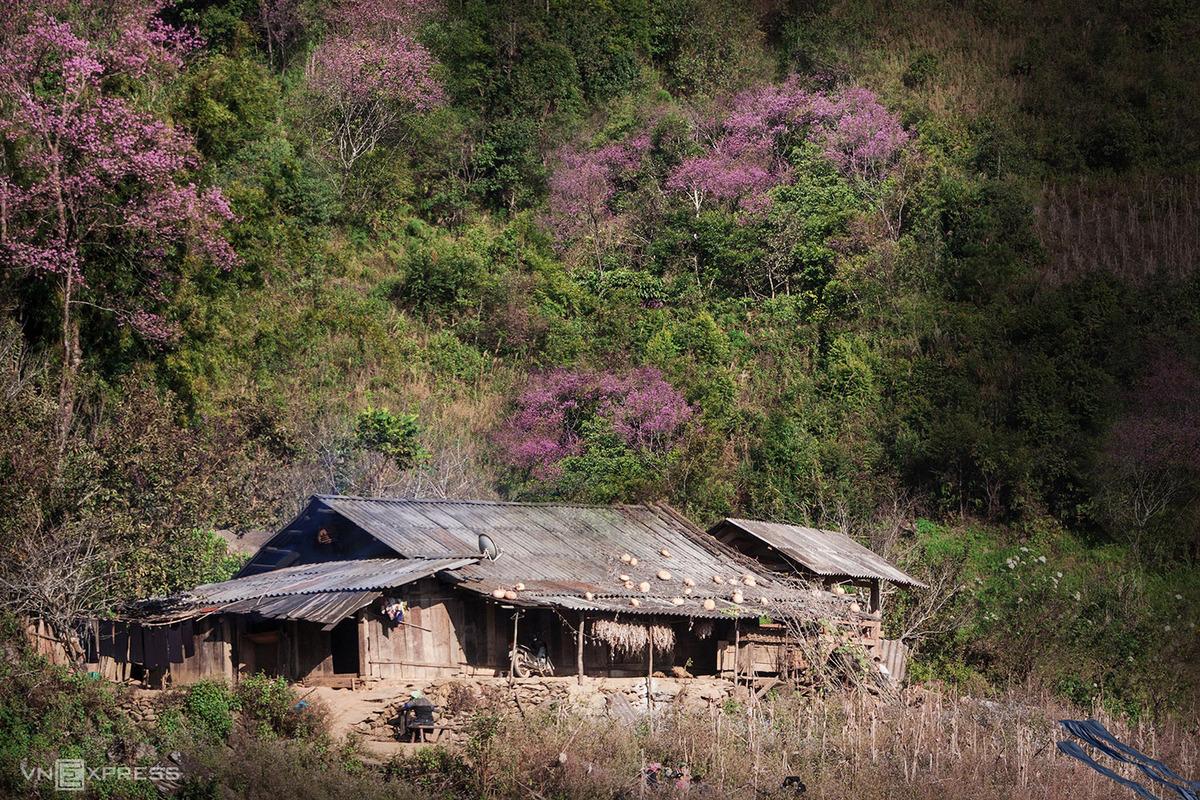 Đào rừng khoe sắc bên căn nhà gỗ của người Mông tại bản Trống Tông, xã La Pán Tẩn, huyện Mù Cang Chải, tỉnh Yên Bái. Ảnh: Lê Trung Kiên