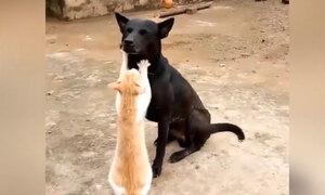 Chó ngồi im tận hưởng khi được mèo massage