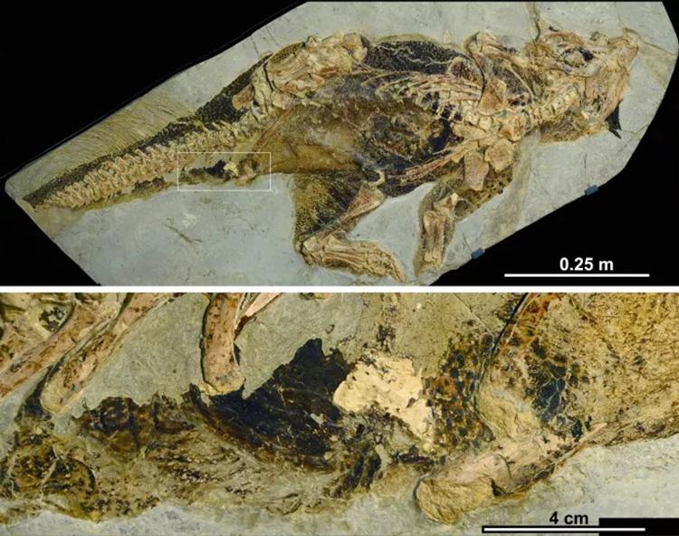 Hóa thạch khủng long Psittacosaurus được khai quật ở Trung Quốc. Ảnh: Bob Nicholls.