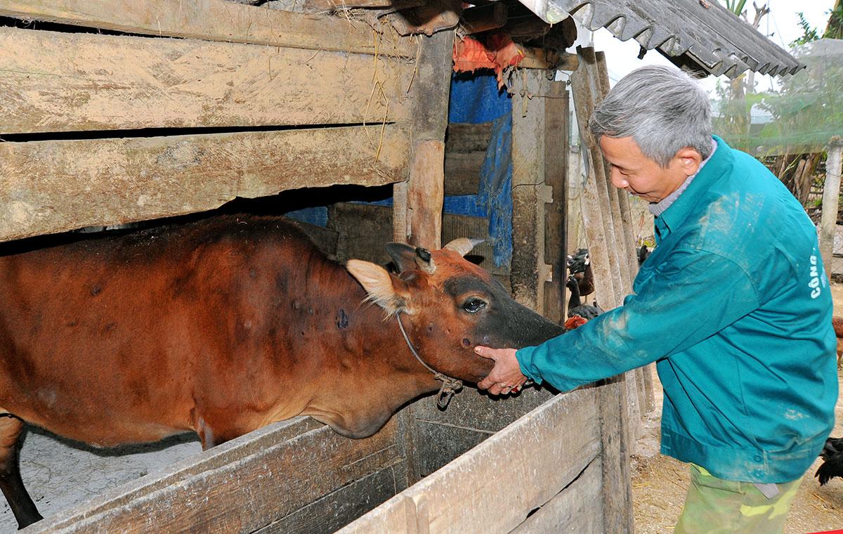 Một con bò của người dân huyện Hương Khê mắc bệnh viêm da nổi cục. Ảnh: Đức Hùng