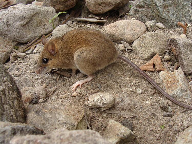 Một mẫu vật chuột Apomys sacobianus được phát hiện trên núi Pinatubo. Ảnh: Danny Balete.