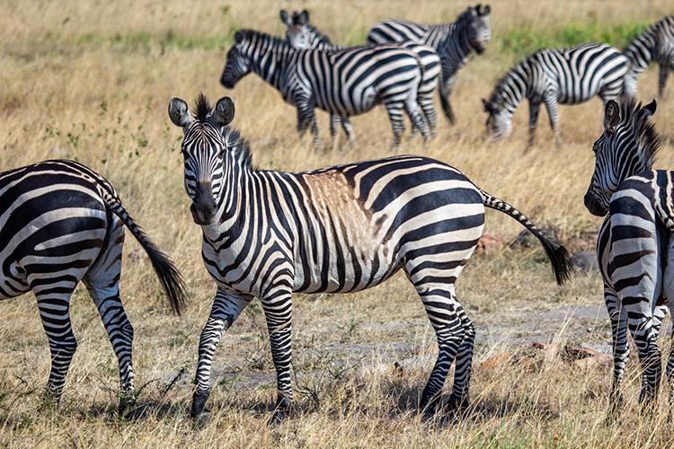 Một con ngựa vằn khác có mảng lông sáng cắt ngang các đốm đen và trắng. Ảnh: National Geographic.
