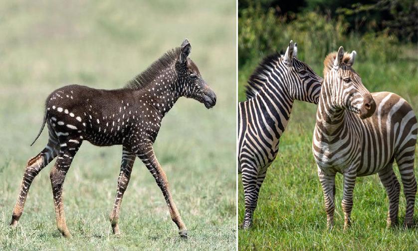 Hai cá thể ngựa vằn đột biến gene được phát hiện ở Kenya. Ảnh: National Geographic.