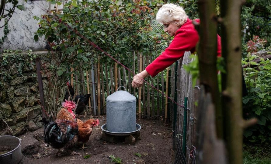 Bà chủ cho con gà Maurice ăn vào năm 2019. Ảnh: The New York Times.
