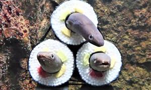 Thủy cung Nhật tạo cuộn sushi cá chình khổng lồ