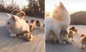 Mẹ mèo che chở cho đàn gà con