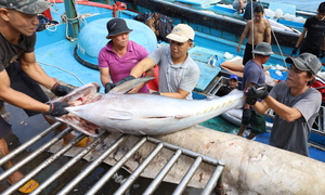 Ngư dân Nha Trang trúng chuyến cá ngừ đại dương