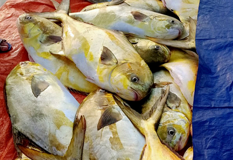 Cá chim vàng được thuyền của ông Tiến vận chuyển vào cảng cá Cẩm Nhượng ngày 24/1. Ảnh: Hùng Lê