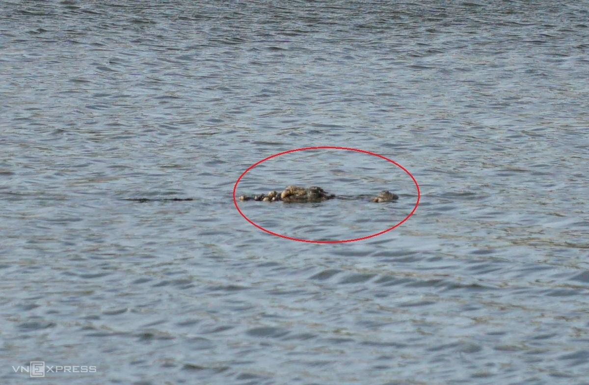 Con cá sấu nổi lên giữa hồ nước chiều 27/1. Ảnh: Trường Hà.