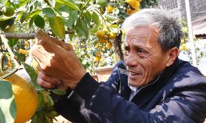 Ghép năm loại quả lên cây bưởi bán Tết