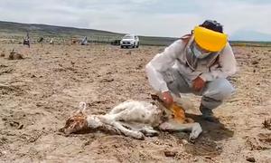 Sinh vật hút máu bí ẩn giết chết hàng loạt gia súc