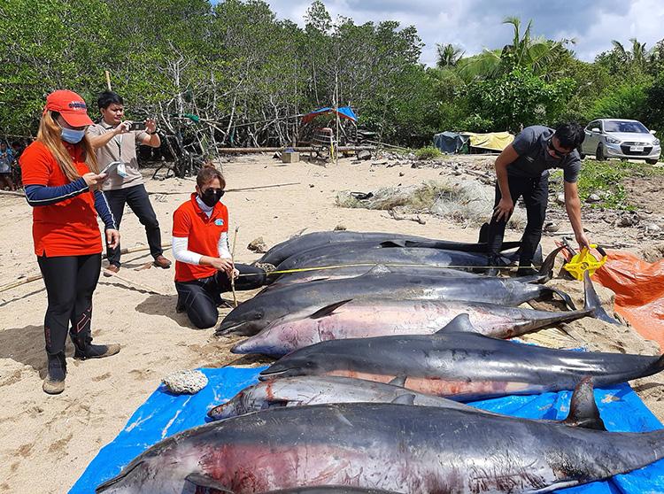 Hơn một  nửa cá heo mắc cạn ở Ragay đã chết do bị thương nặng. Ảnh: BFAR.