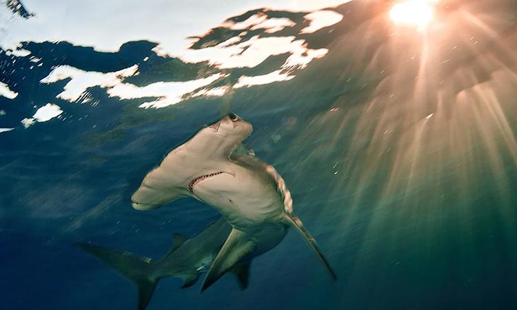 Cá mập đầu búa lớn hiện được phân loại cực kỳ nguy cấp. Ảnh: Brian Skerry.