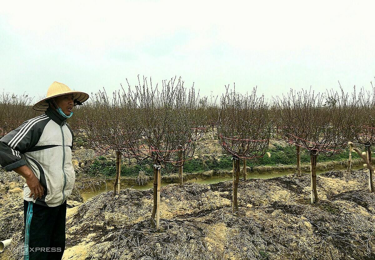Người trồng đào TP Hải Dương nguy cơ mất Tết vì không thể tiêu thụ cây do dịch bệnh. Ảnh: Tú Vĩnh