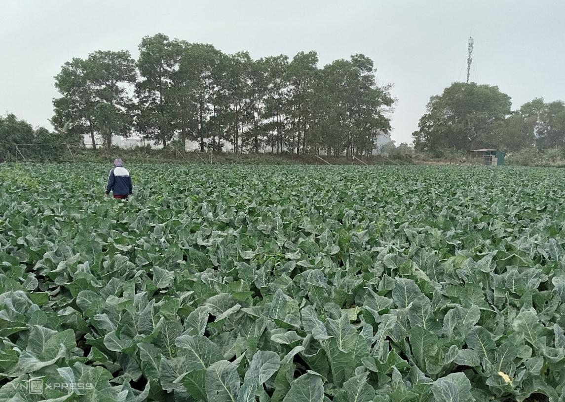 Kết thúc 21 ngày giãn cách xã hội, 4 mẫu rau màu của chị Hoài, xã Lê Lợi, huyện Gia Lộc đứng trước nguy cơ già, phải nhổ bỏ nếu không tìm được đường tiêu thụ. Ảnh: Nhân vật cung cấp