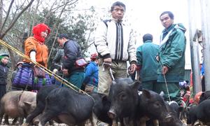 Dắt lợn đi bán ở chợ phiên ngày cận Tết