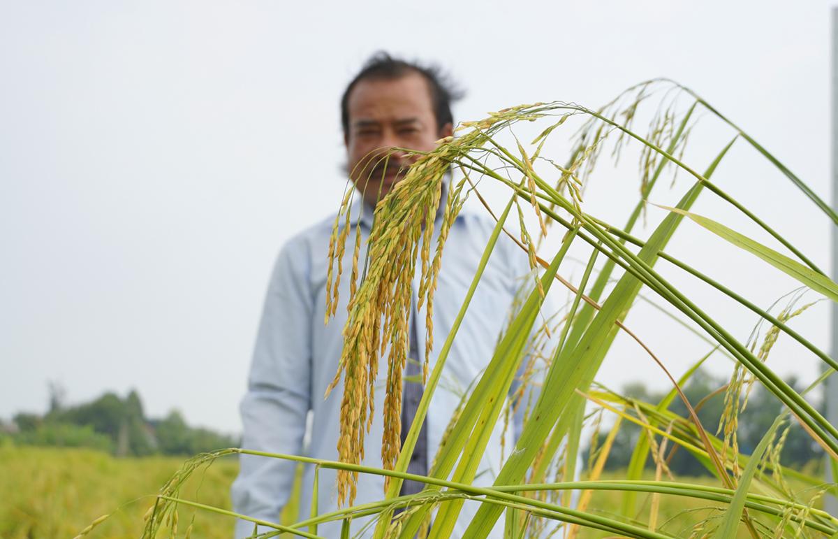 Lúa Nàng Thơm Chợ Đào tại dự án Viet G.A.P 53 ha, phía sau là ông Phan Văn Sánh, Chủ nhiệm Hợp tác xã Bảy Sánh đang kiểm tra cánh đồng chỉ còn một tuần nữa thu hoạch. Ảnh: Hoàng Nam