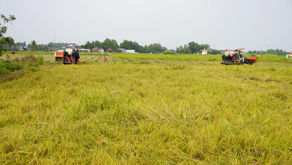 Máy gặt đập liên hợp thu hoạch lúa Nàng Thơm Chợ Đào những ngày cận Tết. Ảnh: Hoàng Nam