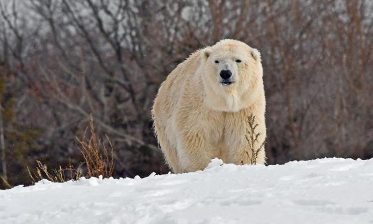 Gấu Bắc Cực cái Anana trong vườn thú Detroit bị con đực giết chết. Ảnh: Vườn thú Detroit.