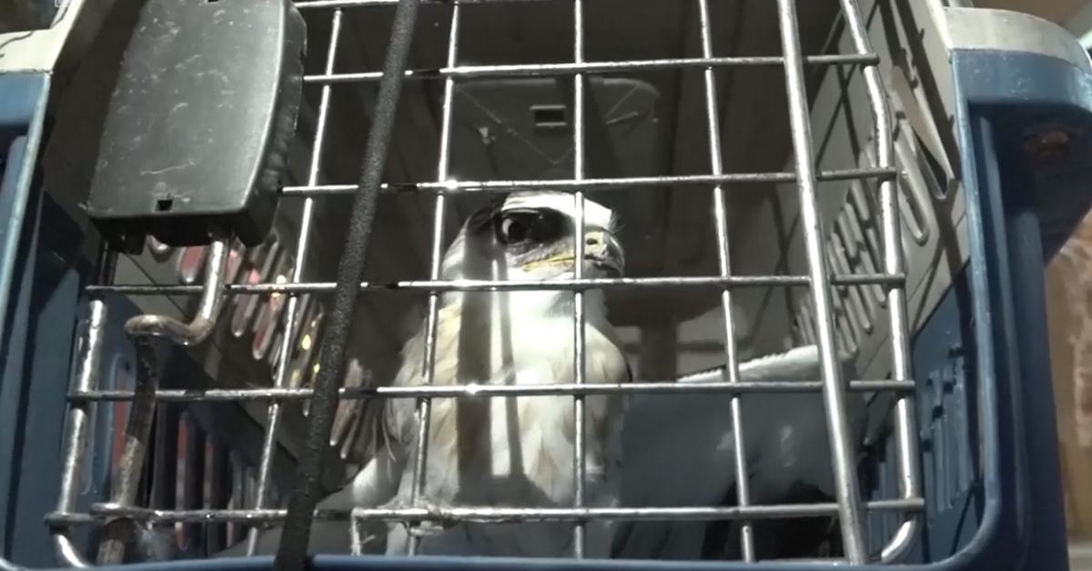 Con chim Cắt hiếm gặp được đưa xuống sau 3 ngày mắc kẹt trên đường dây diện cao thế vào tháng 7/2018. Ảnh: Chi cục kiểm lâm TP HCM.