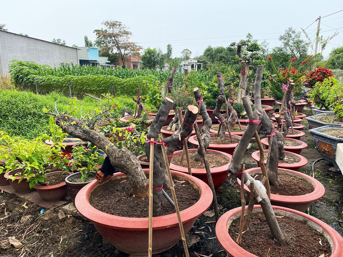 Thân bông giấy được ông Vũ ươm trong vườn ở xã Long Sơn. Ảnh: Hắc Minh.
