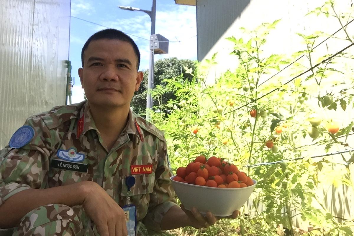 Vườn cà chua trĩu quả, mỗi lần thu hoạch được khoảng 3-4kg. Ảnh: Phương Mai