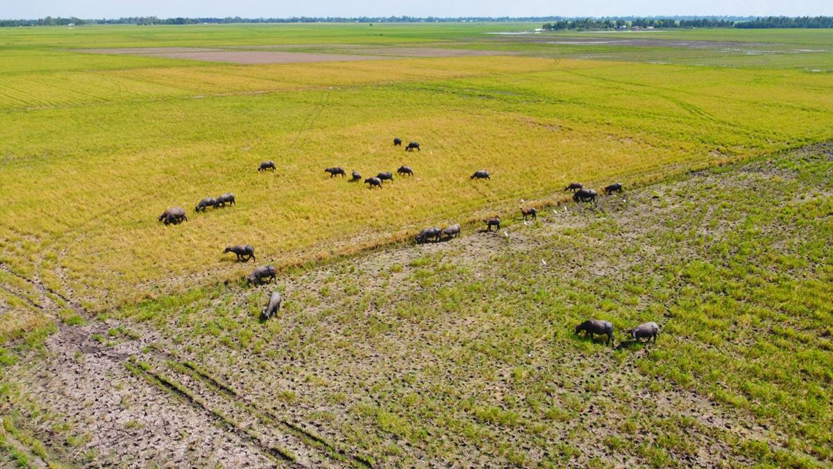 Đàn trâu nuôi vỗ béo trên cánh đồng xã Hưng Điền, Tân Hưng. Ảnh: Hoàng Nam