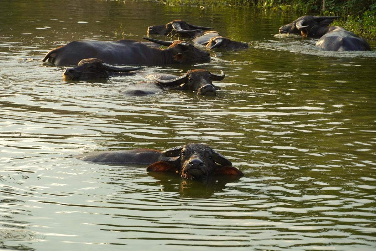 Những con trâu tại Hưng Điền, Tân Hưng sau một ngày chăn thả, được chủ cho trầm dưới ao nước để giúp trâu mát, mau lớn. Ảnh: Hoàng Nam