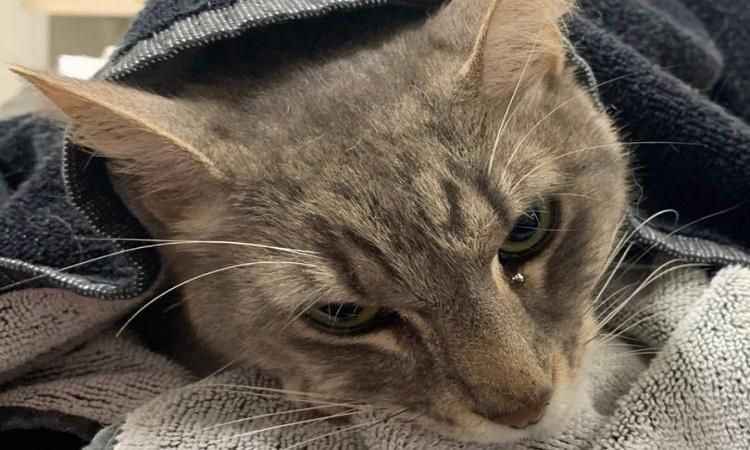 Các bác sĩ thú y không thể cứu sống mèo Arthur. Ảnh: Cơ quan Cứu hộ Động vật bang Queensland.