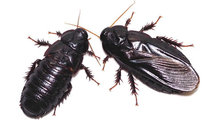 Gián ăn gỗ trưởng thành bị bạn đời nhai gần hết cánh (trái) và con gián có cánh nguyên vẹn (phải). Ảnh: Ethology.